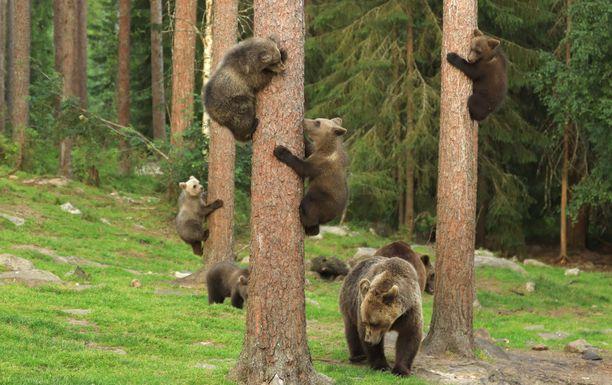 Karhunpennut kokeilevat rajojaan kiipeillessään puihin.