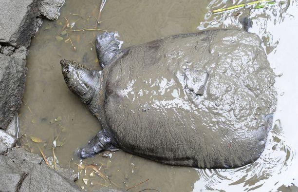 Jangtsen pehmeäkuorinen jättiläiskilpikonna on maailman suurin makeanveden kilpikonnalaji. Se voi painaa noin 100 kiloa.