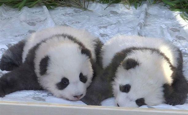Berliinin pandapoikaset ovat saaneet nimet.