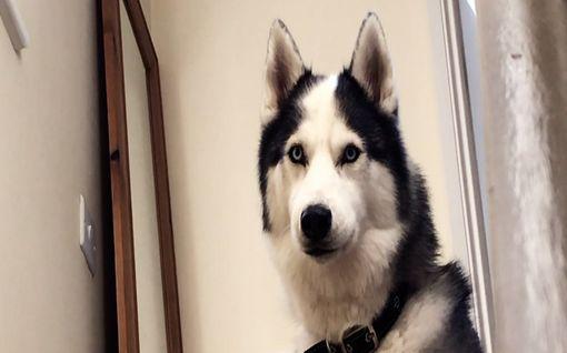 Jääräpäinen Rex-koira ei käskyistä piittaa – karvakuonon reaktio saa omistajan nauramaan