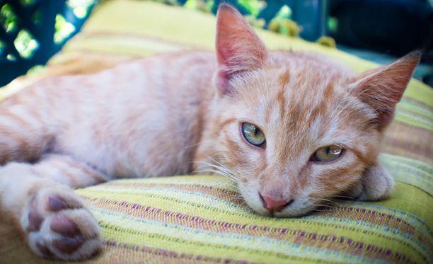 Geenien lisäksi kissan seurallisuuteen vaikuttaa sen pentuajan kasvuympäristö ja kokemukset.