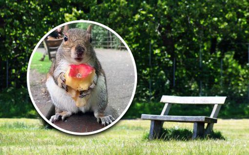 Orava söi omenaa tyytyväisenä puistossa –englantilaisnainen kuvasi tilanteen lähietäisyydeltä