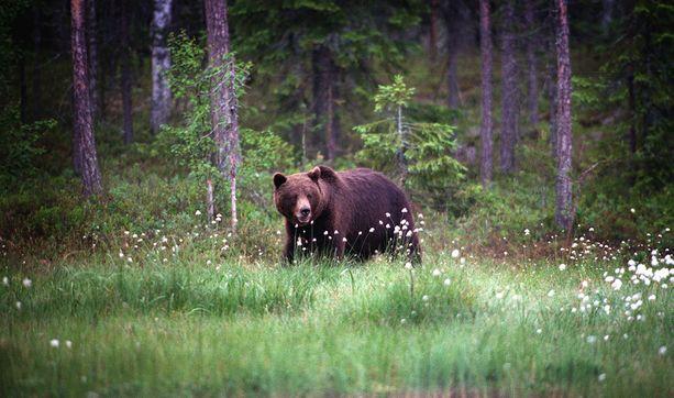 Jämsänniemellä on tehty kesän aikana lukuisia karhuhavaintoja. Jarmo Mäkisen riistakamera ikuisti otson Patajoen ja Jyväskyläntien välisessä metsässä. Kuvituskuva.