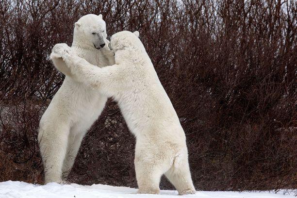 2018 FINALISTI Tanssivat karhut Kanadassa.