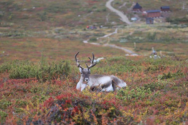 Kuvan poro tuntuu nauttivan Lapin kauniista ruskakirjosta Pallas-Yllästunturin kansallispuistossa.