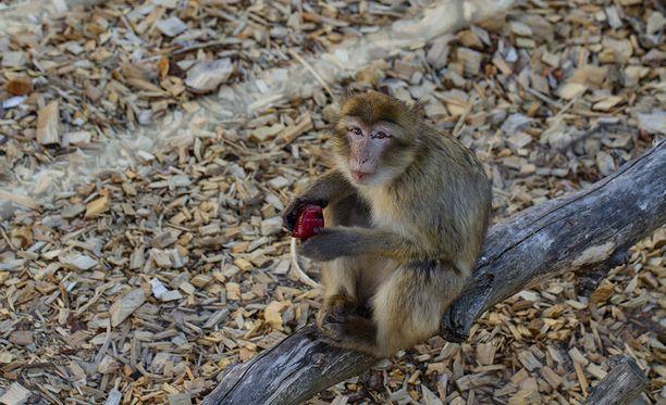 Jäädytetty hedelmä oli berberiapinan mieleen.