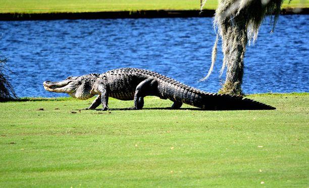 Alligaattorit aiheuttavat ongelmia Etelä-Carolinan golfkentillä.