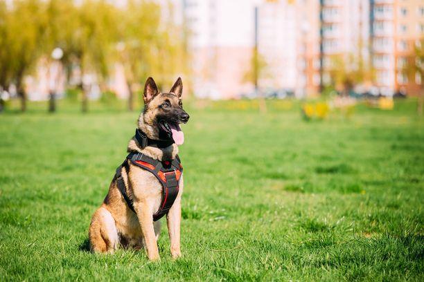 Kuvan koira ei liity tapaukseen. Belgianpaimenkoirat ovat luonteeltaan valppaita ja aktiivisia sekä sopivat hyvin palveluskoiraksi (Kennelliitto).