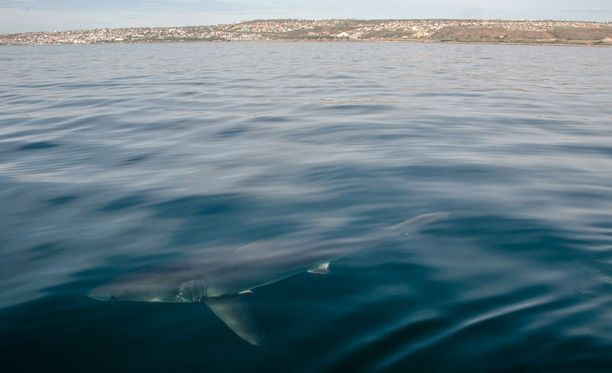 Valkohai voi kasvaa jopa 8 metrin pituiseksi ja painaa 2 000 kiloa.