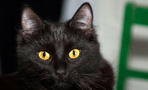 Jämsäläisen iäkkään rouvan Mirri-kissa vietti suuren osan pääsiäisestä naapuripihan korkean männyn latvassa. Kuvituskuva.