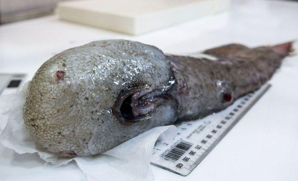 Kasvoton kala on kirjallisten lähteiden mukaan nähty vain kerran aiemmin Papua-Uudessa-Guineassa vuonna 1873.
