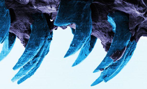 Mikroskooppikuva limpet-etanan hampaasta.