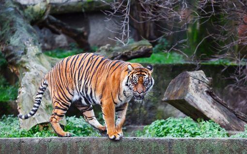 Tiikeri tappoi eläintenhoitajan Zürichin eläintarhassa Sveitsissä