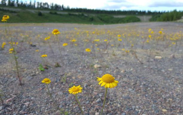 Alueelta on raivattu vieraslajeja, että ketojen ja paahdepaikkojen kukilla olisi tilaa kukkia.