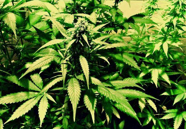 Kannabis on hamppukasvista valmistettava päihde- ja lääkeaine.