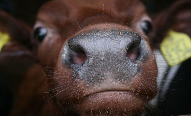 Tuotantoeläinten oloihin lakiehdotus ei tekisi kummoisia muutoksia. Kuvituskuva.