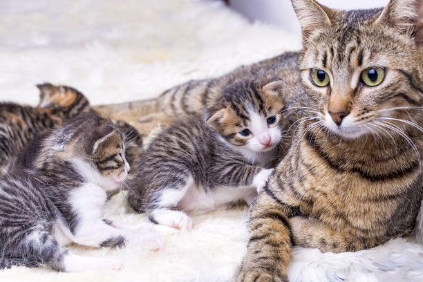 Emon ja sisarusten seura on kissanpennun kehityksen kannalta tärkeää.