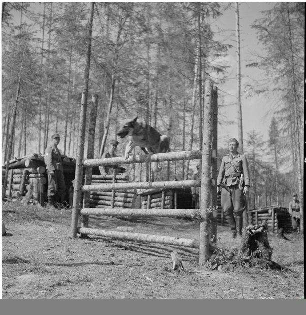 Sotakoirien koulutusta (II/JR 8) etulinjakomppaniassa.Syväri 1942.07.08.