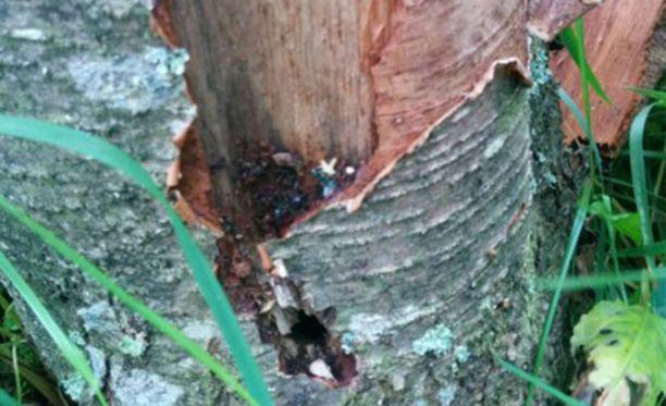 Puut ovat kuolemassa myrkkyjen ja porausreikien vuoksi.