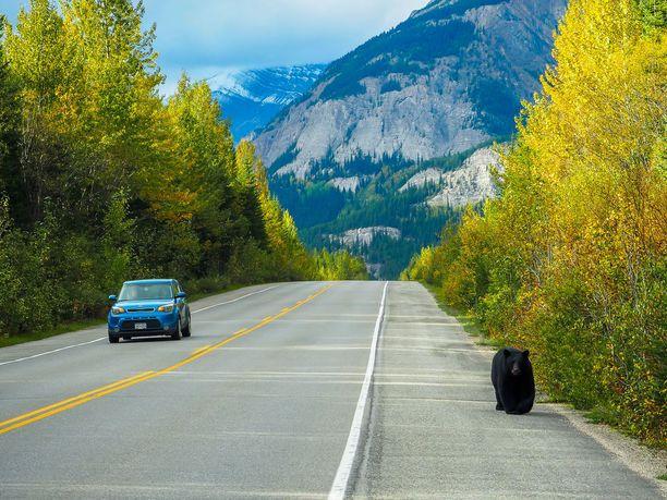 Kanadassa autoileva voi bongata tien poskesta karhuja.