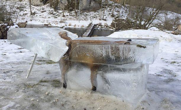 Kuva jäätyneestä ketusta on herättänyt hämmästystä.