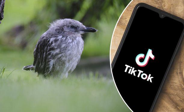 Muun muassa yksinäisiä lokinpoikasia on otettu koteihin. Linnuista on kuvattu videoita ja jaettu Tiktokiin.
