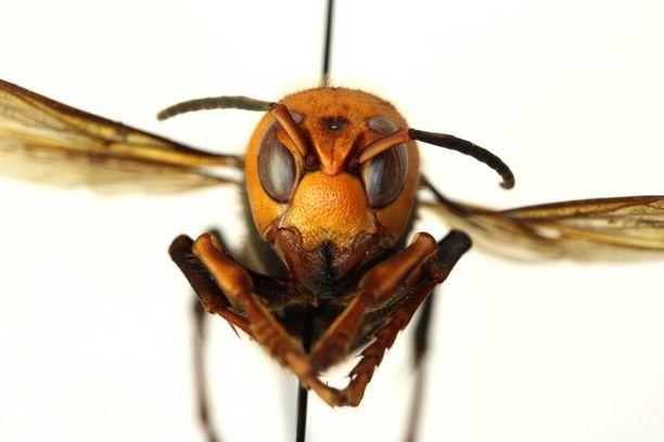 Kiinanherhiläinen on väriltään hyvin oranssi. Lajia on nyt tavattu Yhdysvalloissa.