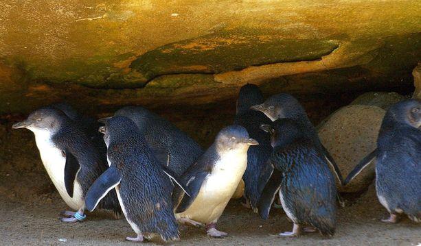 Liuskepingviinejä Tarongan eläinpuistossa Sydneyssä.