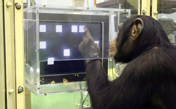 VOITTO! Nuoret simpanssit päihittivät muistikokeessa sekä ihmiset että vanhempansa.