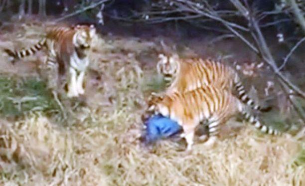 Kaksi tiikeriä kierteli miehen ympärillä, yksi raateli miestä kaulasta ja päästä.