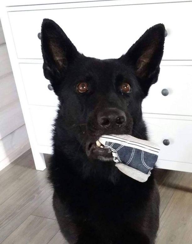 Karma-koira valpastui, kun Laura Johansson oli raskaana.