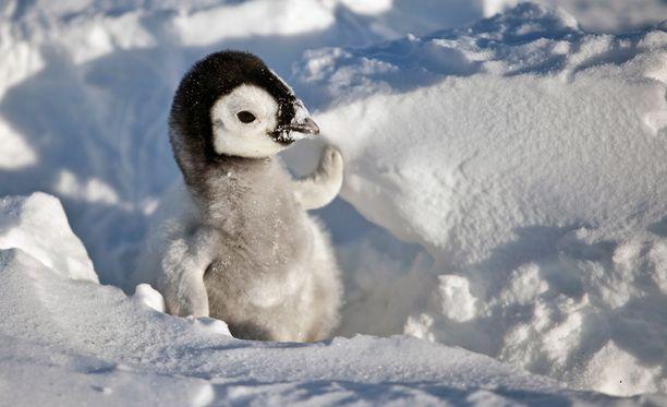 Keisaripingviinit kuoriutuvat tuuleen ja tuiskuun talviaikaan.