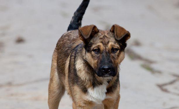 Koiran hännän jahtaaminen voi olla merkki stressistä.