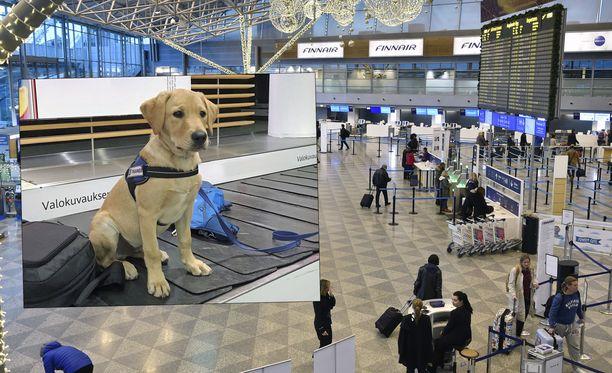 Rico-tullikoira valvoo pian Helsinki-Vantaan lentoasemalla matkustajien tavaroita.
