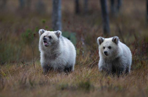Erittäin harvinaiset vaaleat ruskeakarhut ihastuttivat karhuja kymmenisen vuotta kuvannutta Kimmo Ohtosta.