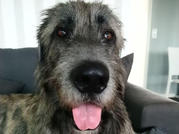 Tämä karvakuono, irlanninsusikoira-Frank, pelasti perheensä.