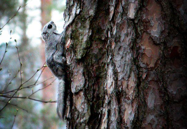 Liito-oravaa esiintyy Suomen lisäksi EU:n alueella vain Virossa. Sen lisääntymis- ja levähdyspaikkojen hävittäminen ja heikentäminen on kiellettyä.