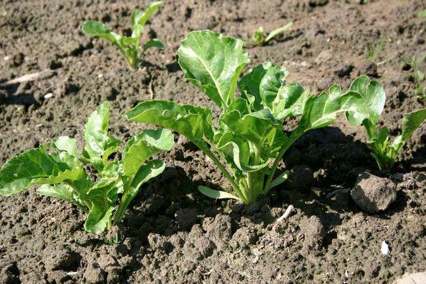 Sokerijuurikas kylvetään aikaisin keväällä, ja korjataan vasta lokakuussa. Sadoksi korjataan sokeripitoinen juures.