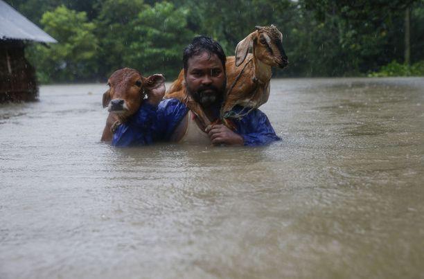 Mies kantoi kotieläimiään turvaan Nepalissa.