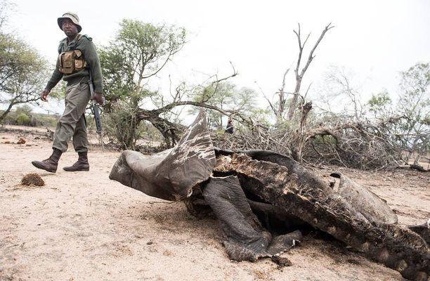 Sarvikuonon ruho Krugerin luonnonpuistossa Etelä-Afrikassa. Sarvikuono oli lopetettava, koska salametsästäjät olivat ampuneet ja haavoittaneet sitä.