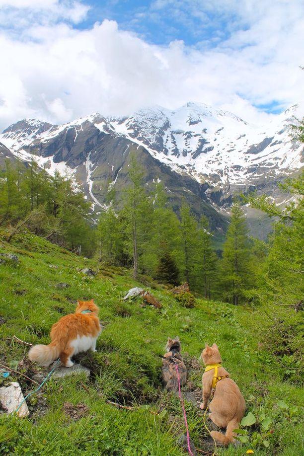 Hannan kissat kulkevat aina valjaissa. Tässä Ruu, Venni ja Oiva vaeltamassa Itävallan Alpeilla.