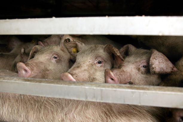 – Suomalaiset tuomitsevat Korean koiranlihabisneksen samalla, kun tunkevat sianlihamakkaraa jo valmiiksi diabeteksen ja verisuonisairauksien rappeuttamiin maallisiin temppeleihinsä, kritisoi Tuomas Enbuske.