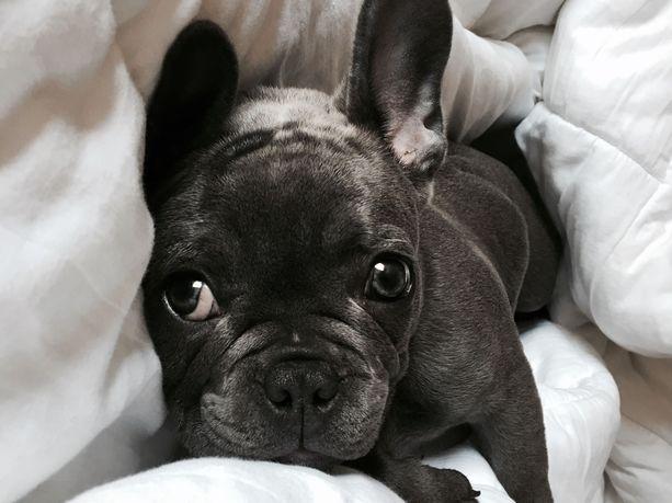 Geenimuutos todettiin englanninbulldoggeilla, ranskanbulldoggeilla ja bostoninterriereillä. Esimerkiksi mopseilla sitä ei ole.