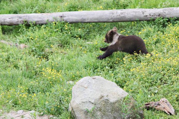 Emostaan erilleen joutunut karhunpentu joutui hirvenmetsästäjien ketjujen väliin. Jahti keskeytettiin kiireesti turvallisuussyistä. Kuva ei liity tapaukseen.