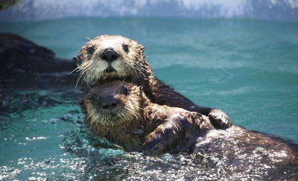 Merisaukko kelluttaa poikastaan tämän ensimmäiset elinviikot.