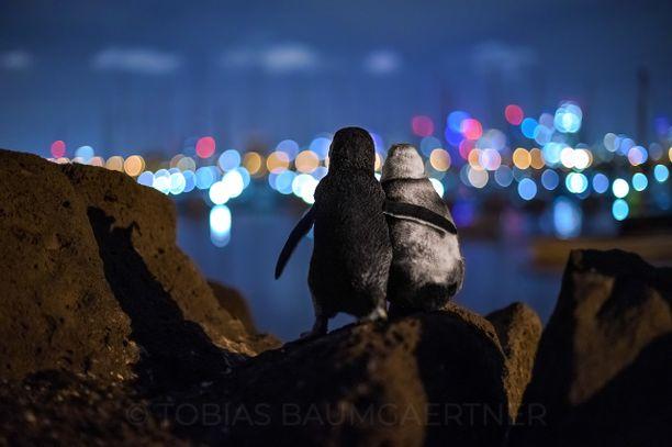 Suru yhdisti kaksi leskeksi jäänyttä pingviiniä.