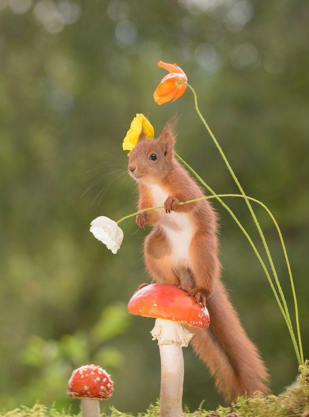 Myös kukat kiinnostivat suuresti oravia.
