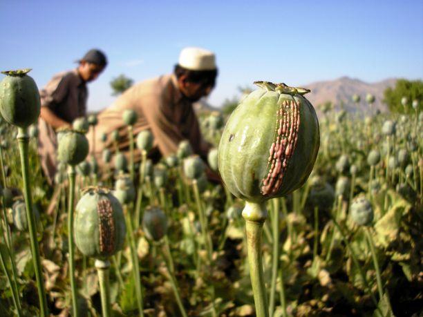 Taliban on arvioiden mukaan ansainnut oopiumilla satoja miljoonia euroja, joilla se on rahoittanut toimintansa.