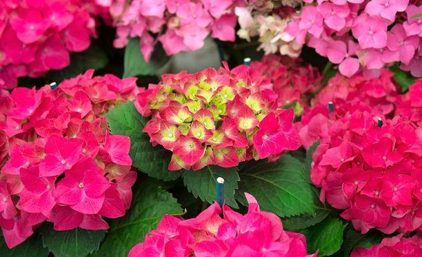 Suosittu hortensia ei ole vaaraton kasvi.