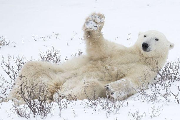 2018 FINALISTI Jääkarhu morjesti kuvaajaa Kanadassa.